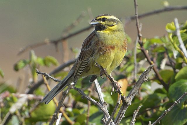 Cirl bunting, Tom Wallis
